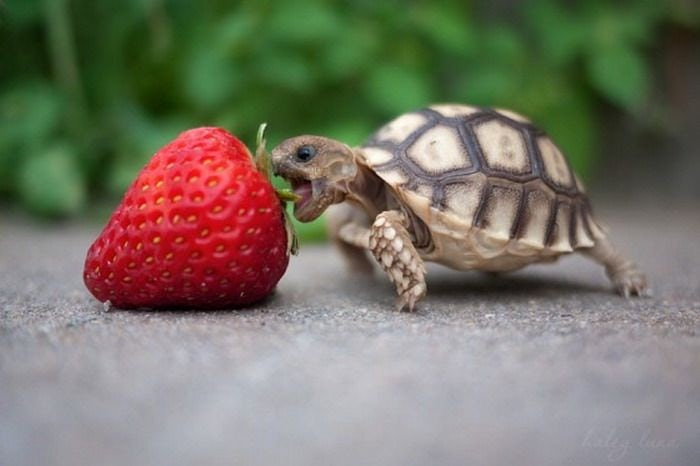 Strawberry Turtle.jpg